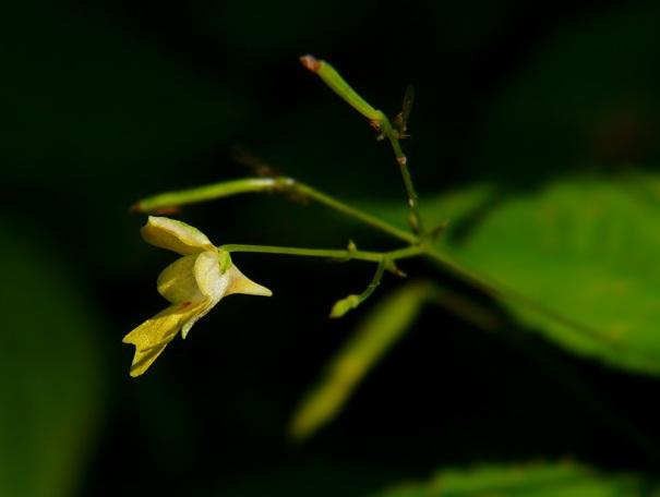 Niecierpek drobnokwiatowy Impatiens parviflora
