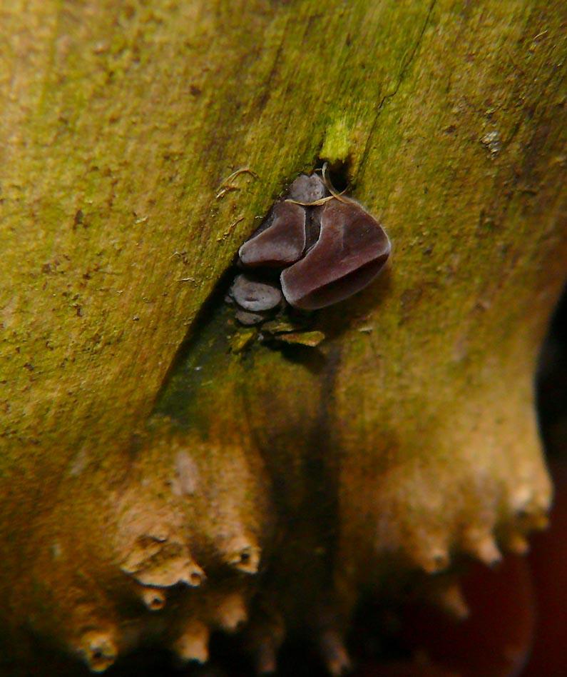 Ucho bzowe Aricularia aricula-judae