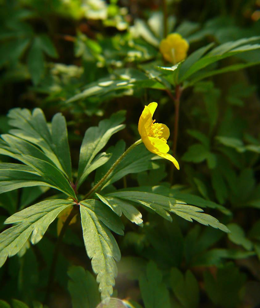 Zawilec żółty Anemone ranunculoides